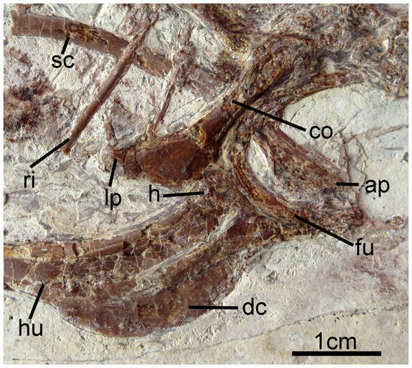 Pectoral girdle and forelimb of Changzuiornis ahgm.