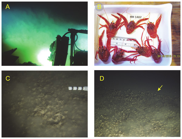 Photographs and video still frames of Pleuroncodes planipes and its environment.