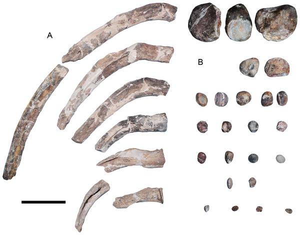 Styxosaurus browni (Welles, 1952) (AMNH 5835). Ribs and gastroliths.