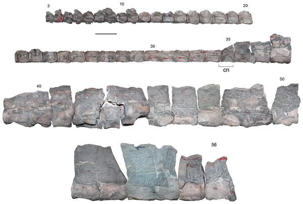 Styxosaurus sp. (AMNH 1495). Cervical vertebrae in left lateral view.
