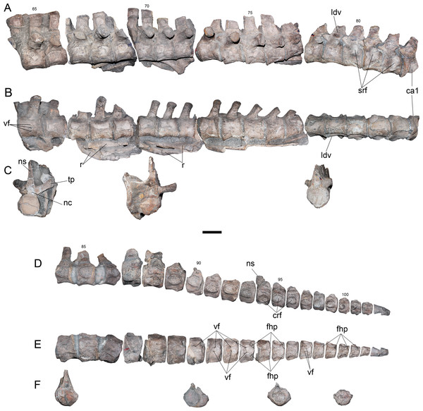 Styxosaurus sp. (AMNH 1495). Dorsal and caudal series of the axial skeleton.