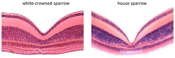 Histological cross sections of the foveae of the white-crowned sparrow (Zonotrichia leucophrys) and the house sparrow (Passer domesticus).