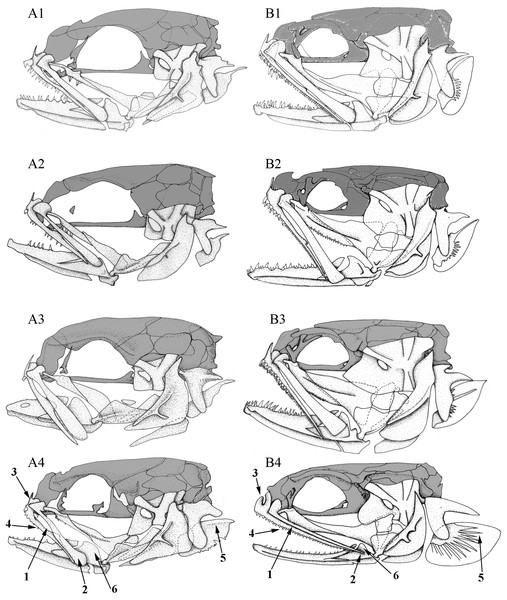 Left lateral view of different Carapini skulls.