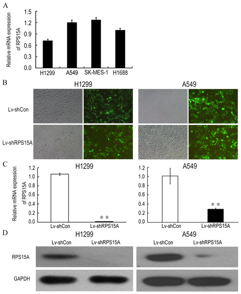 Lentiviral mediated RPS15A downregulation.