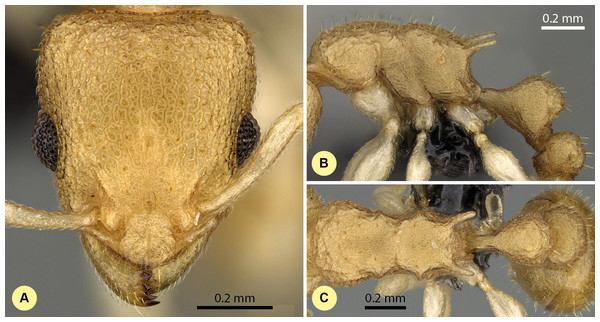 Nesomyrmex gracilis sp. n. holotype worker (CASENT0107191).