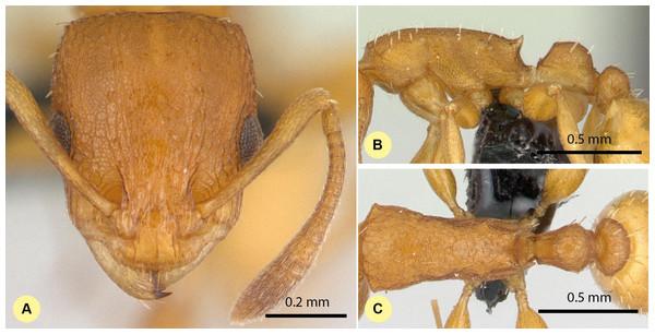 Nesomyrmex angulatus non-type worker (CASENT0134948).
