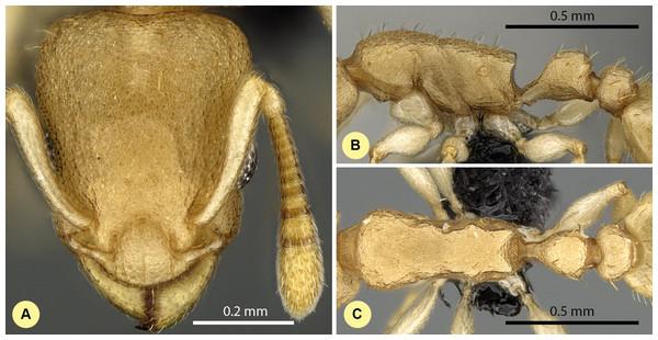 Nesomyrmex bidentatus sp. n. holotype worker (CASENT0486461).