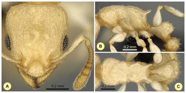 Nesomyrmex devius sp. n. holotype worker (CASENT0448820).