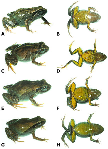 Dorsolateral and ventral views of four paratypes of Psychrophrynella chirihampatu sp. n. showing variation in dorsal and ventral coloration.