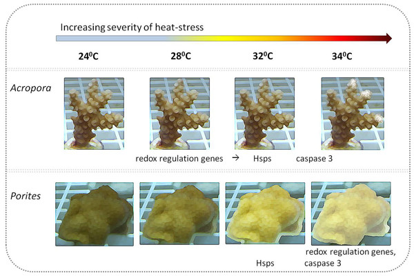 Illustration of coral visual appearance and up-regulated genes throughout the heat stress experiment in Acropora and Porites fragments.