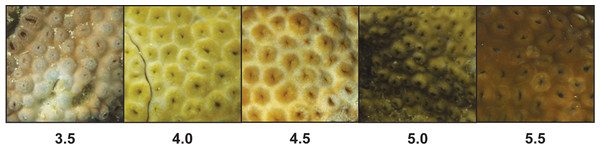 Color variation among unique colonies of Palythoa tuberculosa from reefs in Okinawa Island, Japan.