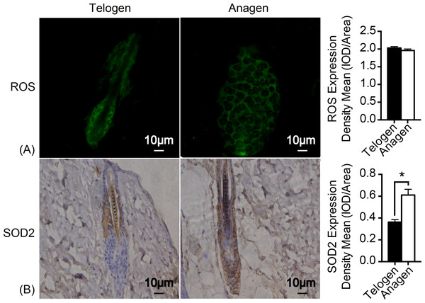 SOD2 is increased in anagen matrix cells to maintain redox homeostasis.