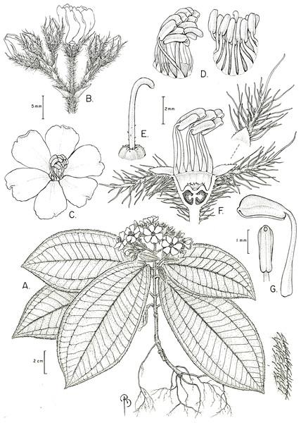 Physeterostemon aonae.