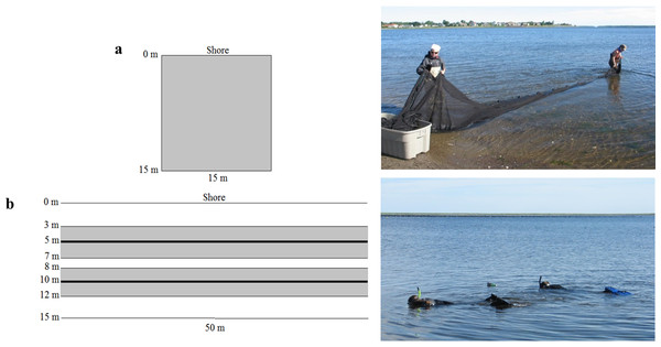 Sampling layout and photograph of (A) beach seine and (B) underwater visual census (UVC) surveys in nearshore shallow water with marked distances from shore and survey lengths.