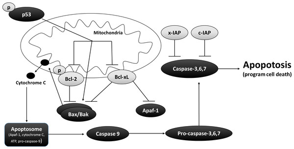 Interrelationship between pro and anti-apoptotic proteins in the mitochondrial matrix.