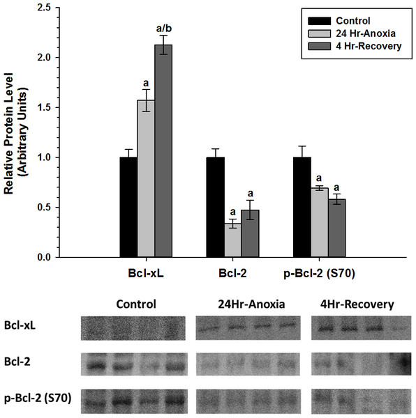 Relative changes in the protein expression levels of the anti-apoptotic Bcl family of proteins (Bcl-2, p-Bcl-2 (S70), and Bcl-xL) in the liver of Rana sylvatica in response to 24 Hr anoxia and 4 Hr recovery as determined by western immunoblotting.