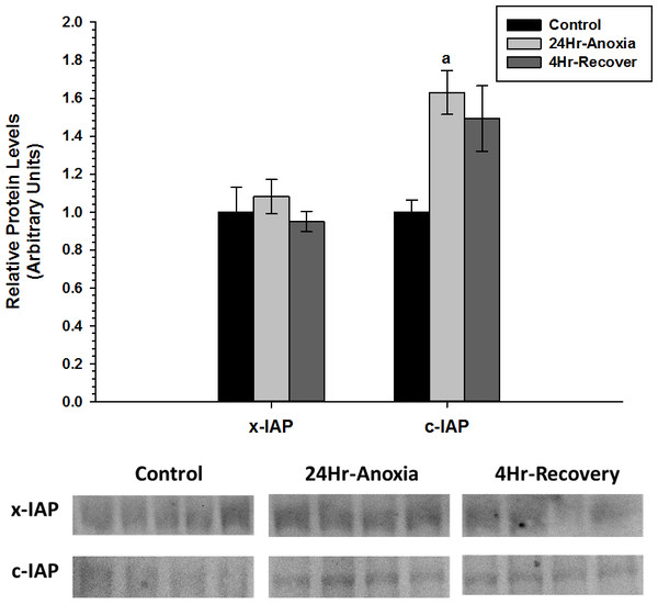 Relative changes in the protein expression levels of the anti-apoptotic proteins x-IAP and c-IAP in the liver of Rana sylvatica in response to 24 Hr anoxia and 4 Hr recovery as determined by western immunoblotting.