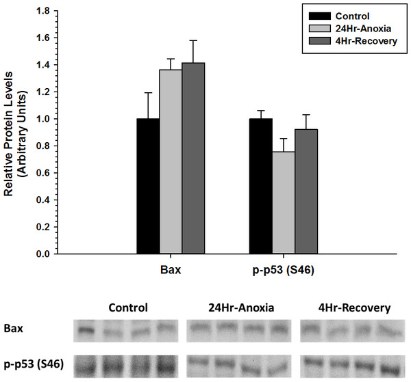 Relative changes in the protein expression levels of the pro-apoptotic proteins Bax and p-p53 (S46) in the liver of Rana sylvatica in response to 24 Hr anoxia and 4 Hr recovery as determined by western immunoblotting.