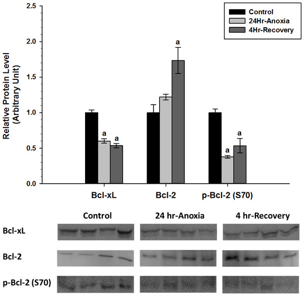 Relative changes in the protein expression levels of anti-apoptotic Bcl family of proteins (Bcl-2, p-Bcl-2 (S70), and Bcl-xL) in the skeletal muscle of Rana sylvatica in response to 24 Hr anoxia and 4 Hr recovery as determined by western immunoblotting.