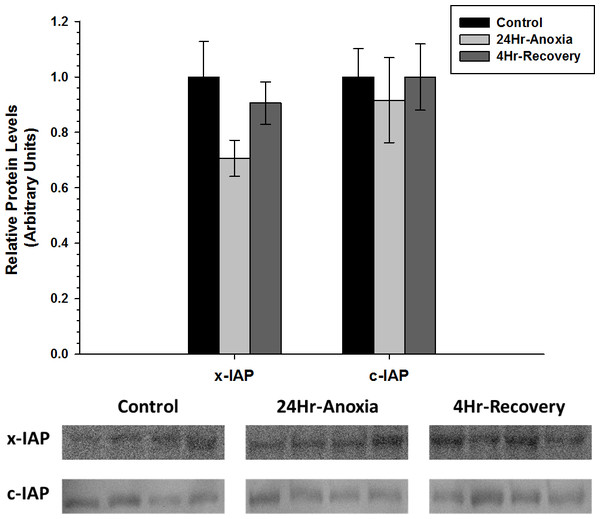 Relative changes in the protein expression levels of the anti-apoptotic proteins x-IAP and c-IAP in the skeletal muscle of Rana sylvatica in response to 24 Hr anoxia and 4 Hr recovery as determined by western immunoblotting.