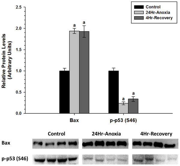 Relative changes in the protein expression levels of the pro-apoptotic proteins Bax and p-P53 (S46) in the skeletal muscle of Rana sylvatica in response to 24 Hr anoxia and 4 Hr recovery as determined by western immunoblotting.