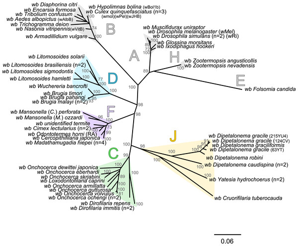 Phylogenetic tree of Wolbachia based on 7 markers by Maximum Likelihood.
