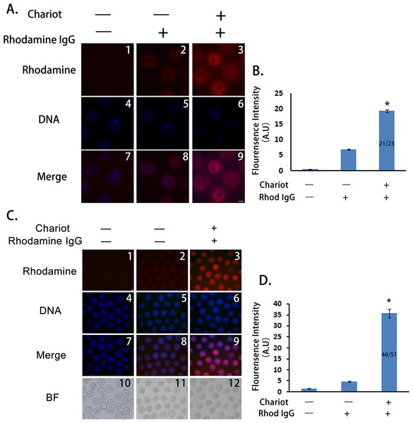 Peptide nanoparticle-encapsulated antibody can effectively enter intact mouse oocytes.