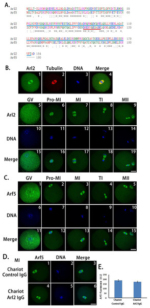 Peptide nanoparticle-mediated antibody transfection can specifically inhibit target protein in mouse oocytes.