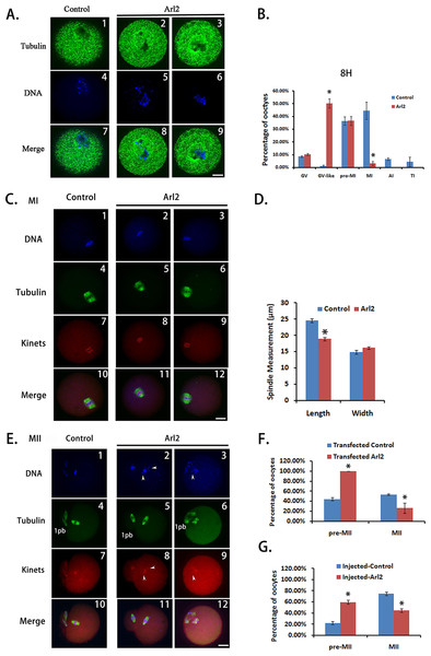 Effective protein inhibition through peptide nanoparticle-mediated antibody transfection can be used in protein function analysis in mouse oocytes.