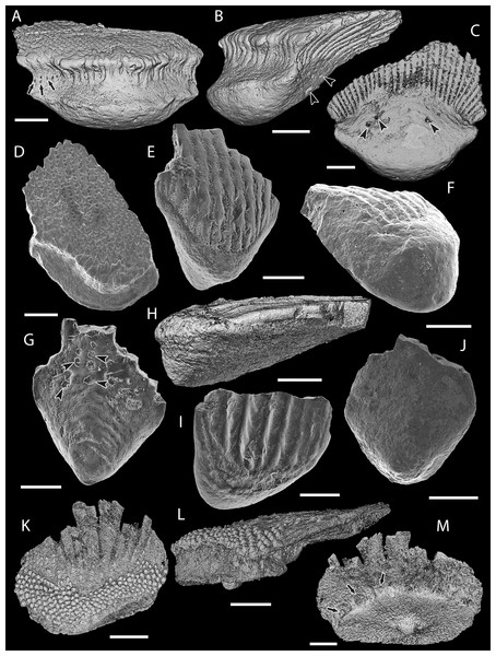 Scale morphology of Mongolepididae.