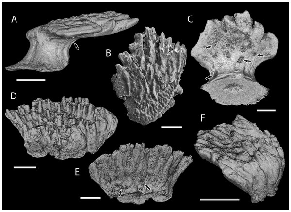 Scale morphology of Shiqianolepidae.