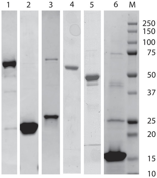 SDS-PAGE analysis of expressed and isolated recombinant polypeptides.