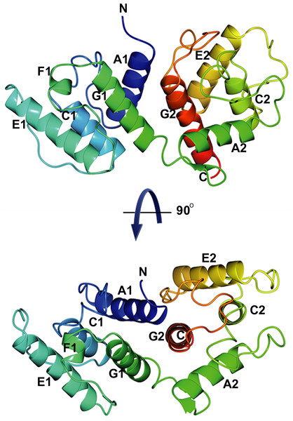 Overall structure of α-actinin ABD.