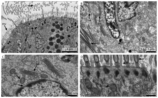 Ultrastructural details of marPHEM fixed gill cell of Mytilus edulis.