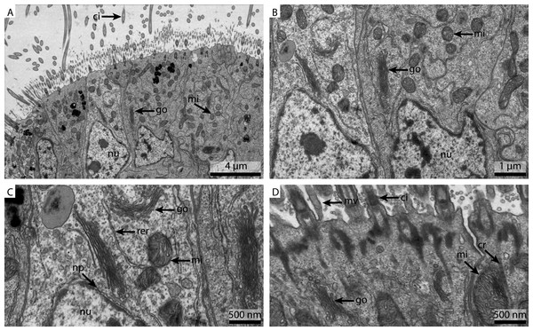 Ultrastructural details of marPBS fixed gill cell of Mytilus edulis.