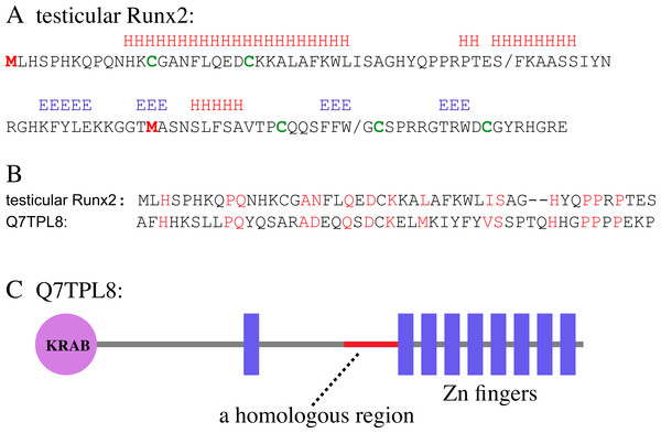 Bioinformatic analysis of the testicular Runx2 polypeptide.