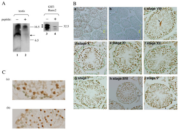 Immunoblot detection of Runx2 protein in testis and its localization in nuclei of spermatogenic cells dependent on seminiferous-stage.
