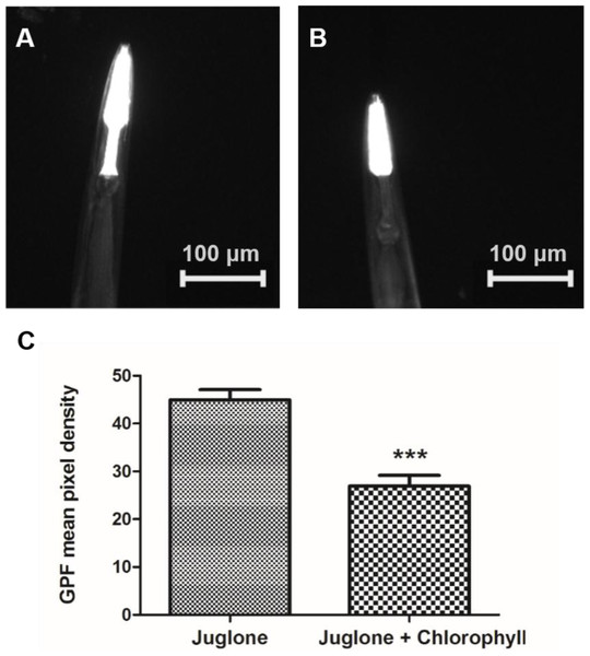 Induction of Phsp-16.2::GFP(gpIs1) reporter in response to juglone treatment.