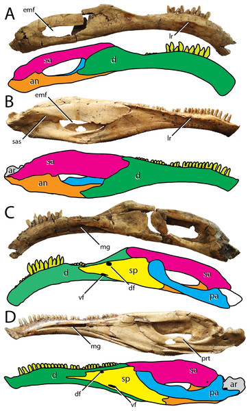 Comparisons between the hemimandibles of the Bayanshiree therizinosaurians Segnosaurus galbinensis and Erlikosaurus andrewsi.