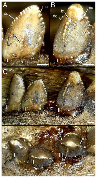 Distalmost dentary teeth (22nd–24th) of Segnosaurus galbinensis MPC-D 100/80.