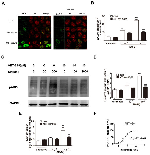 Effect of PARP-1 inhibitors on pADPr content (which represents PARP-1 activity) in SM-treated HaCaT cells.