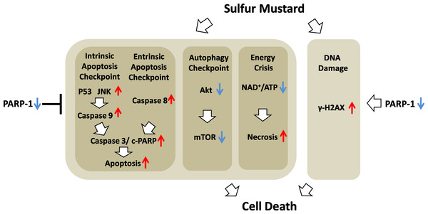 Schematic of the role of PARP-1 in sulfur mustard injury.