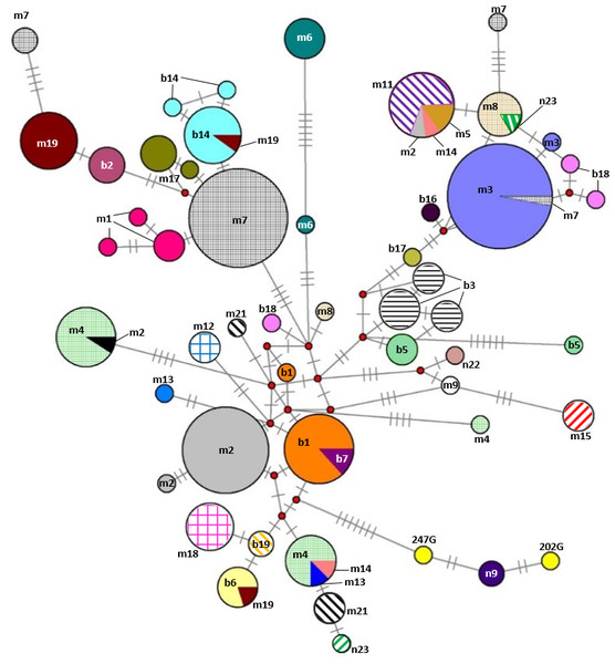 Median-joining network based on combined nucleotide sequences (892 bp) of the mitochondrial CYTB and D-loop of 242 mares representing the 31 Gidran mare families.