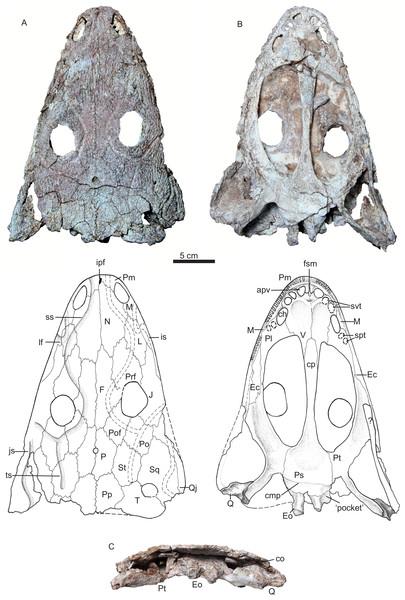 Holotype.