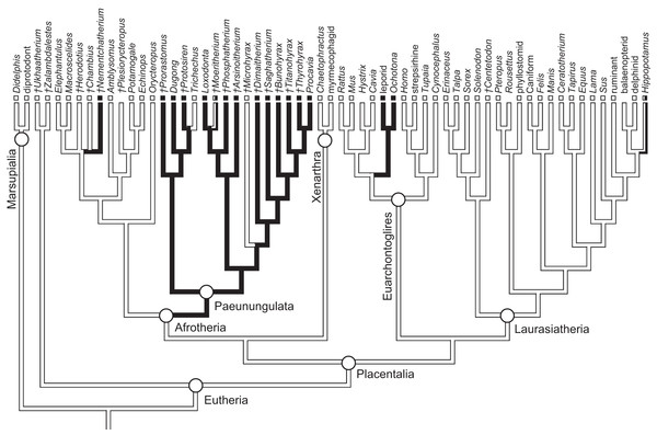 Phylogeny of eutherian mammals (rooted with two marsupials) derived from Meredith et al. (2011).