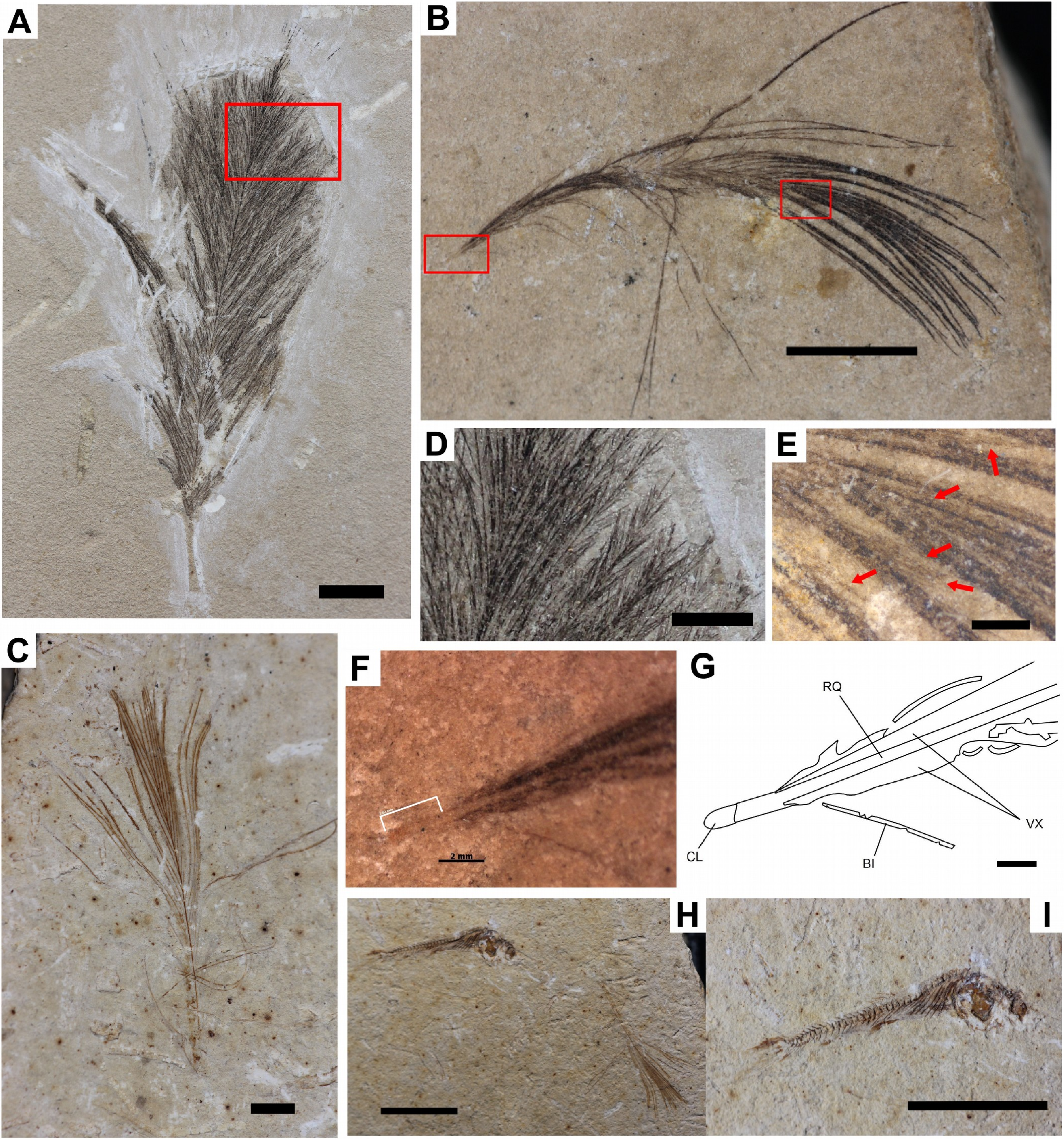 59592a47ed91 New occurrences of fossilized feathers  systematics and taphonomy of ...