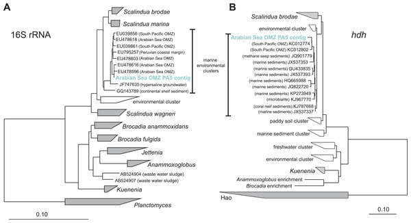 Phylogenetic inference of Scalindua-related contigs assembled from the OMZ metagenomes.