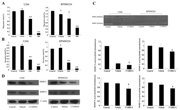 17-ODYA inhibits MM cell mobility through reducing MMP activity and protein levels.