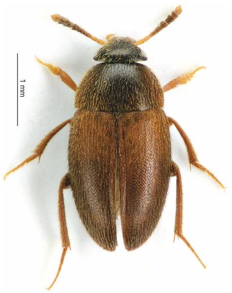 Habitus of the S. watsoni male from dorsal view.