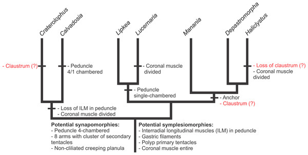 Hypothesis of character evolution for staurozoan genera.
